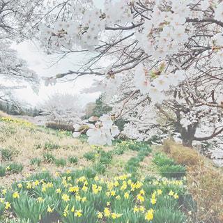 桜,絶景,水仙,長野県,好きな場所,花好き,のどかな,福与城跡