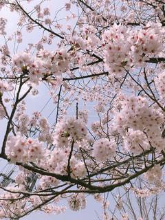 桜の木🌸の写真・画像素材[1126704]