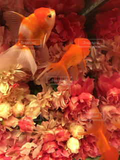 花の中の金魚の写真・画像素材[1434466]
