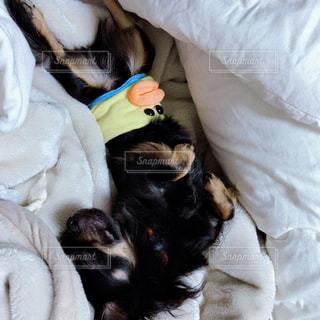 布団の中で眠っている愛犬の写真・画像素材[1621863]
