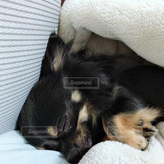 ベッドの上に横たわる犬の写真・画像素材[1657277]