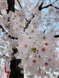 桜の写真・画像素材[1977403]