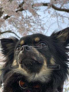 犬,春,桜,動物,チワワ,野外