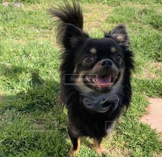草の上に立っている小さな黒い犬の写真・画像素材[2700400]