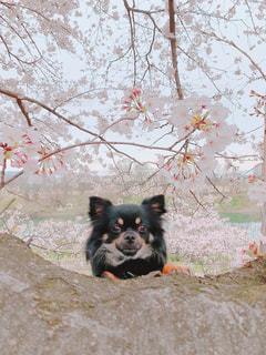 桜の木からひょっこりの写真・画像素材[3063032]
