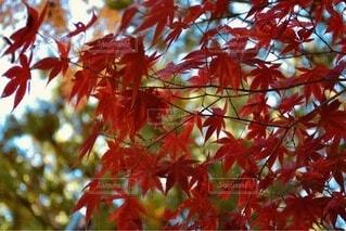紅葉の写真・画像素材[3713259]