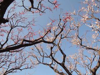 空に伸びる梅の枝の写真・画像素材[1108284]