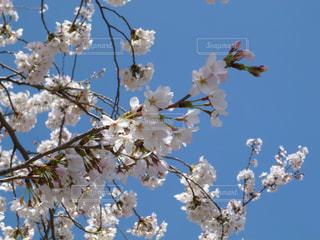 青空と桜の写真・画像素材[1110373]