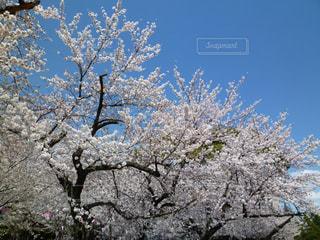 青空をバックに桜満開の写真・画像素材[1110411]