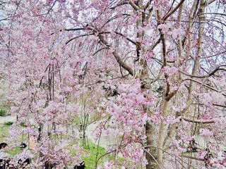 東山動植物園の桜の写真・画像素材[1122096]