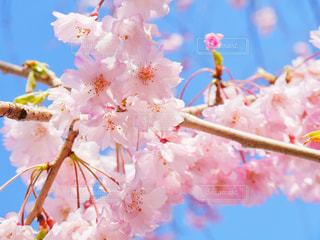 桜,高田公園,新潟県,Sakura,上越市