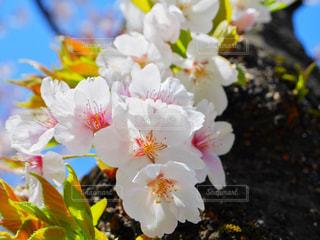 桜のアップの写真・画像素材[1122884]