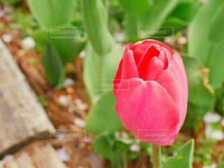 花,春,チューリップ,高田公園,新潟県,上越市