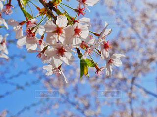 花,春,高田公園,新潟県,Sakura,上越市