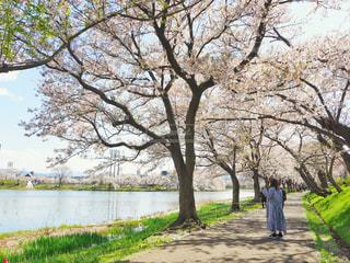 花,春,桜,高田公園,新潟県,Sakura,上越市