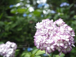 公園,花,カラフル,あじさい,景色,鮮やか,紫陽花,草木