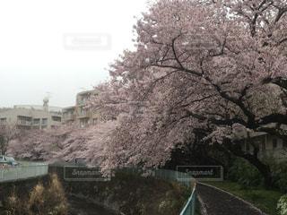 桜,通学路