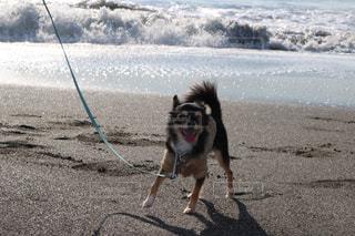 砂浜の上に犬の地位の写真・画像素材[1205706]