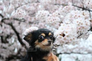 黒と茶色の犬の写真・画像素材[1214075]
