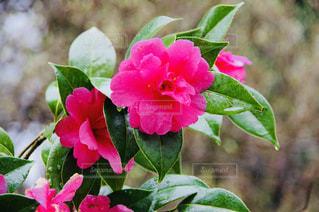 加茂山の椿の写真・画像素材[1122832]