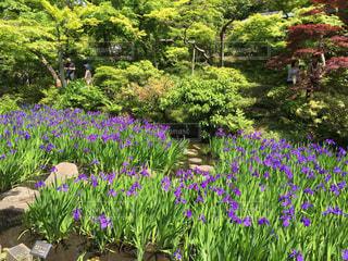 花,春,庭,東京,植物,紫,お花,庭園,5月,カキツバタ,杜若,根津美術館