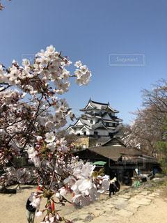 桜と彦根城 - No.1107173
