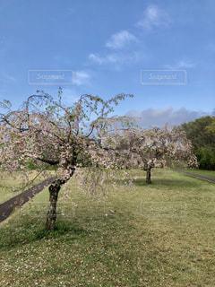 公園の桜 - No.1113281