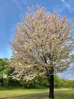 公園の大きな桜 - No.1113843
