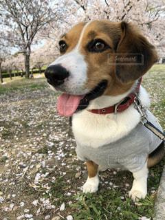 桜と犬 - No.1124738