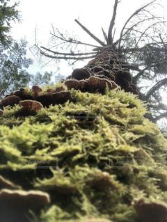 苔の木 - No.1159982