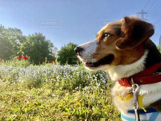 草の中に座っている茶色と白犬の写真・画像素材[1184115]