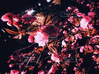 花,春,桜,夜,屋外,京都,ピンク,夜桜,樹木,お花見,日本,japan,草木