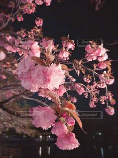 花,春,桜,夜,京都,ピンク,水面,池,夜桜,樹木,お花見,日本,草木