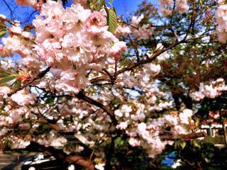 風景,空,花,春,桜,屋外,京都,ピンク,青空,樹木,お花見,日本,japan,草木