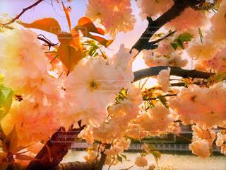 風景,花,春,桜,屋外,京都,湖,水面,池,日差し,樹木,お花見,日本,草木