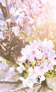 花,春,桜,屋外,京都,青空,日差し,樹木,お花見,草木