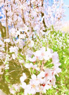 花,春,桜,屋外,京都,青空,日差し,樹木,お花見,日本,草木