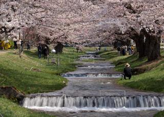 桜の写真・画像素材[1146151]