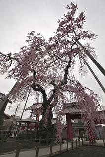 乙女桜の写真・画像素材[1146399]