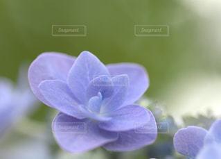 花,青,紫,パープル,紫陽花,ブルー,梅雨,blue,purple,アジサイ