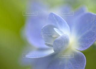 青,紫,パープル,紫陽花,ブルー,梅雨,blue,青色,紫色,淡い,purple,アジサイ,淡い色