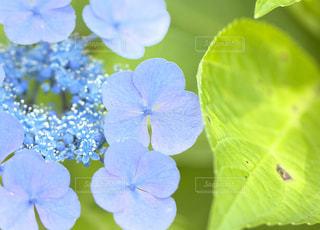 花,青,紫,パープル,紫陽花,ブルー,梅雨,blue,青色,紫色,淡い,purple,アジサイ,淡い色