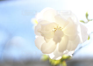 花,庭,白,フラワー,バラ,薔薇,白薔薇,garden,flower,白色,ホワイト,White,草木,ガーデン,ホワイトローズ,roads,White Roads