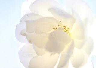 白薔薇の写真・画像素材[1657741]