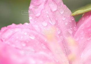シャクナゲの花と水滴の写真・画像素材[2108775]