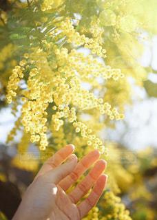 花,春,黄色,ミモザ