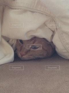 猫の写真・画像素材[12523]