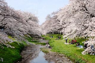 春,桜,花見,桜並木,小川,旅行,東京都,遊歩道,緑道,根川緑道,立川市