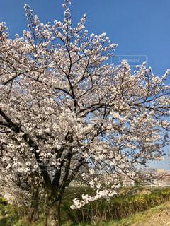 春,桜,綺麗,青空,堤防,川,愛知県名古屋市,2018年3月