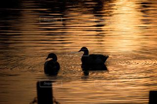 夕日,鳥,夕焼け,水辺,池,シルエット,オレンジ,夕陽,黄昏時